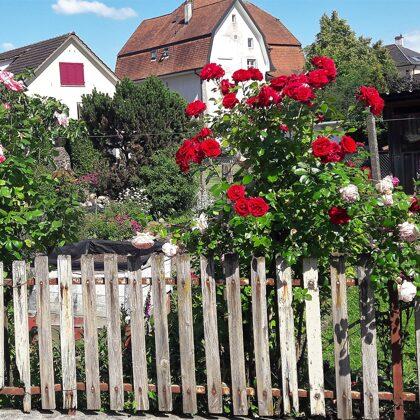 Rosen entlang des Zauns